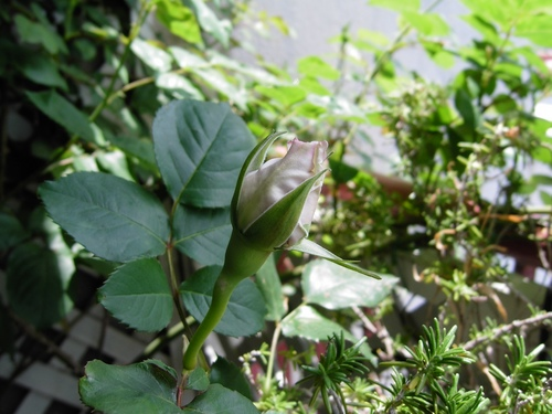 2012 Rose Day11 .jpeg