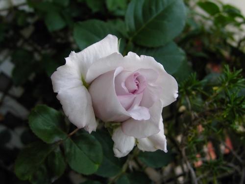 2012 Rose Day14.jpeg